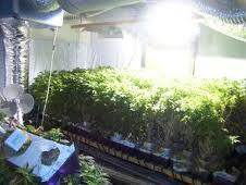 wietplantje
